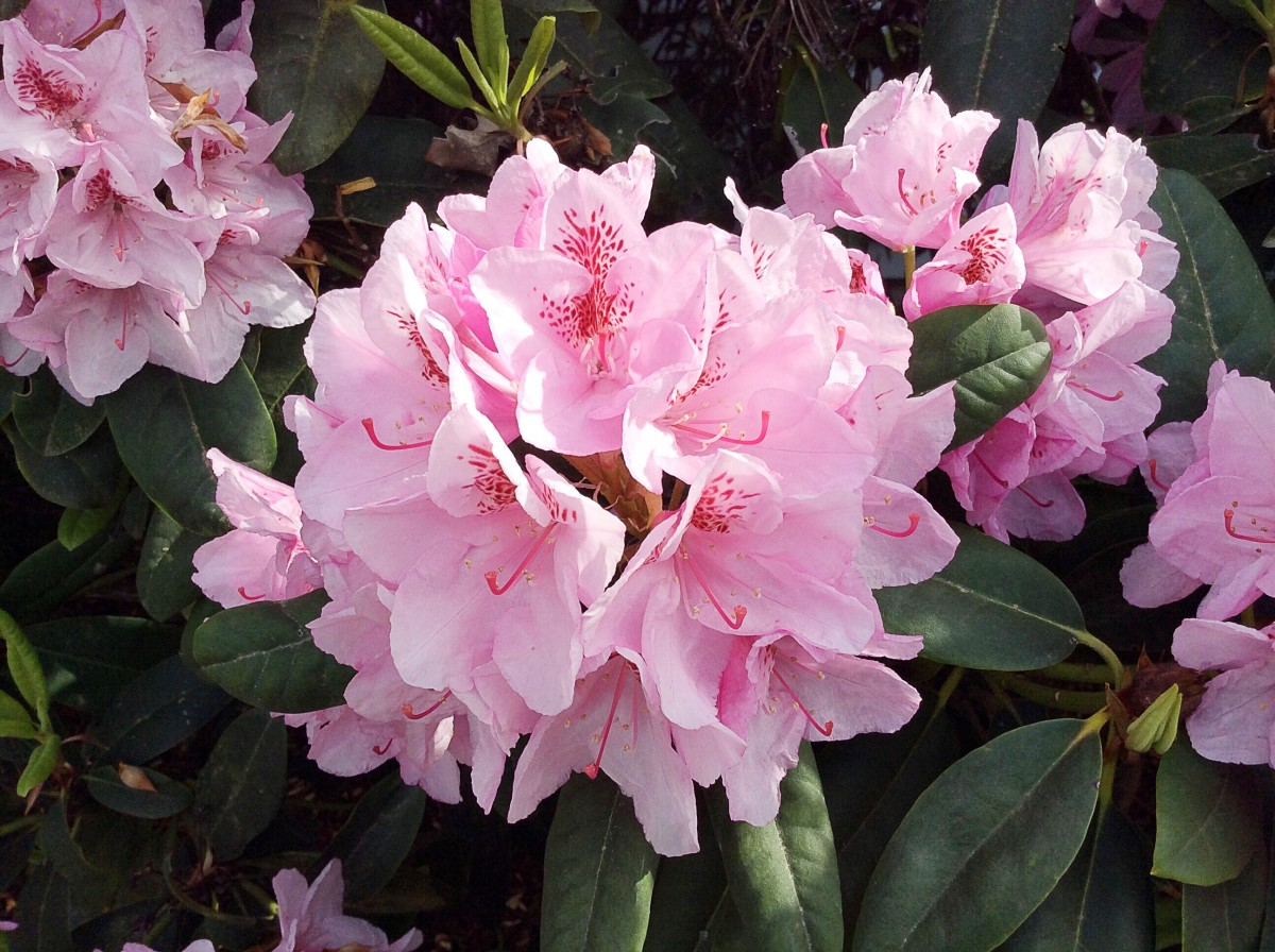 A pink rhododendron