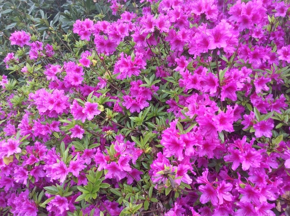 A pink azalea