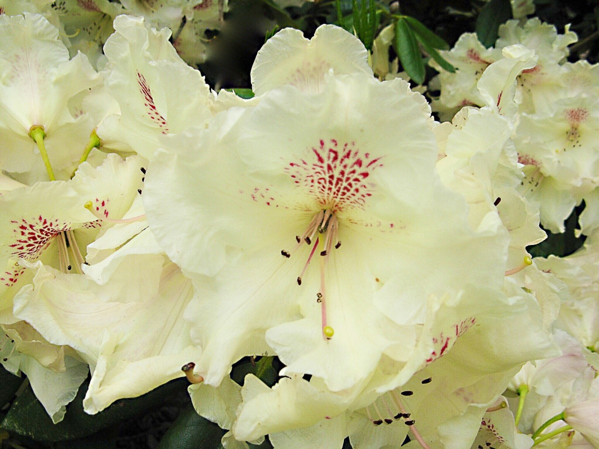 A cream-colored rhododendron