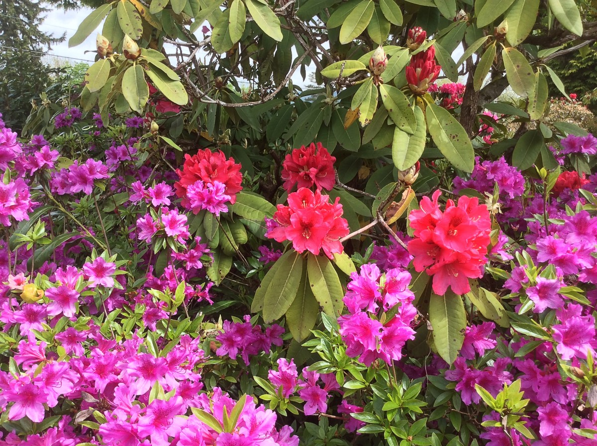 A rhododendron and an azalea