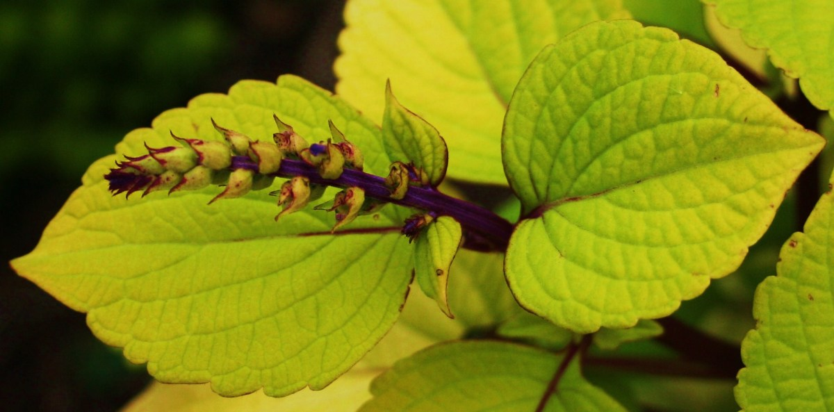 This coleus stem has a prominent terminal bud (a bud at the end of the apical stem). In fact, if it isn't snipped soon, this bud will flower.