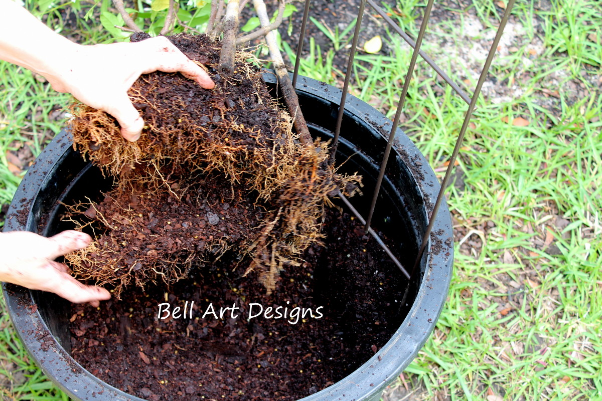 Breaking up the roots helps the plant grow better.