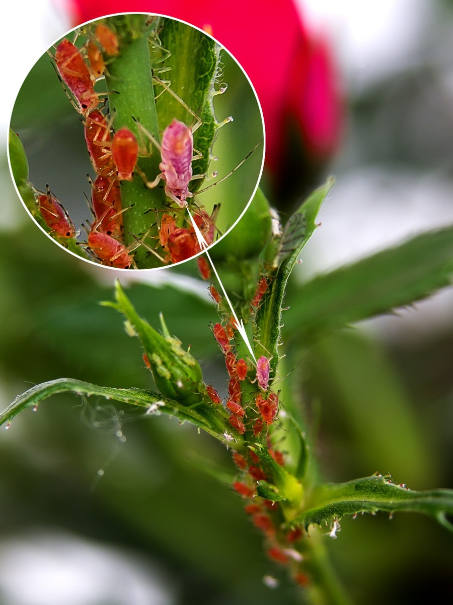 Closeup of aphids on the stem of a flower.