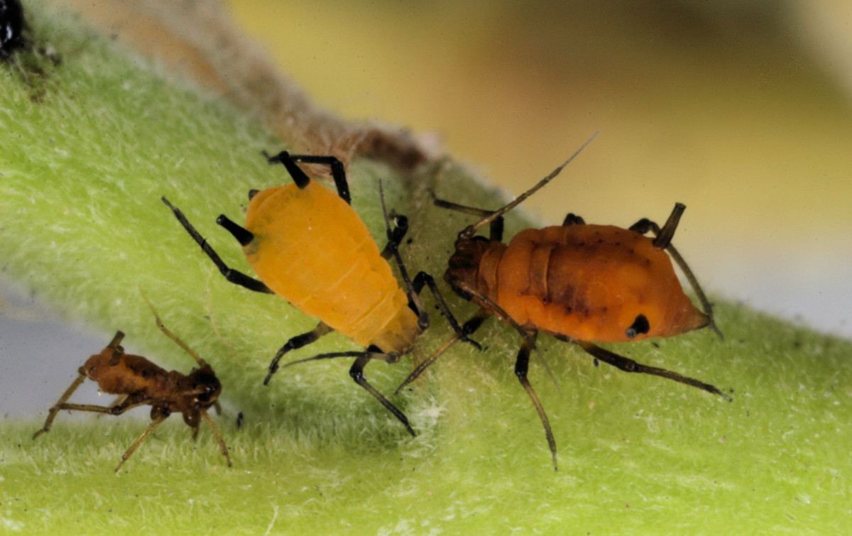 Picture showing aphid colors. Aphids produce honeydew which feeds sooty mold.
