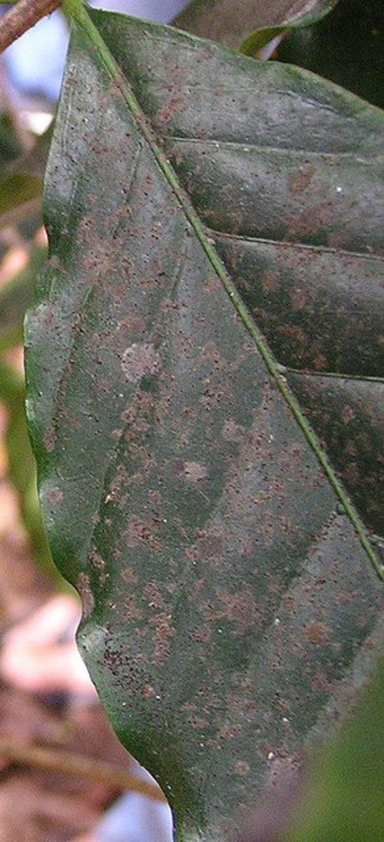 Sooty mold on a gardenia leaf.