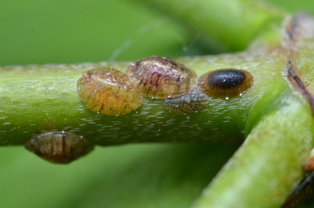 Scale insects also feed sooty mold. (Coccoidea)