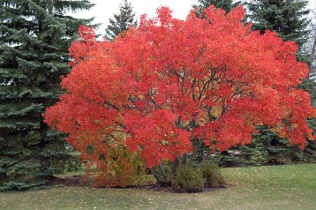 Amur maple can grow quite big if left largely unpruned for many years.