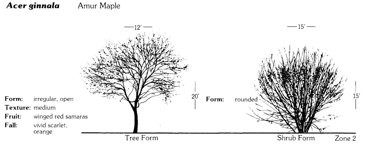 You can prune the Acer ginnala to tree form or shrub form