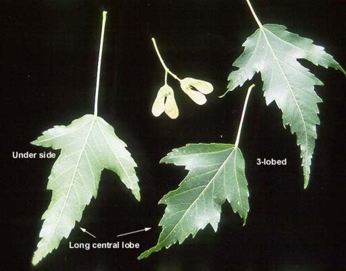 This image shows the layout of an Amur maple leaf and its samara.