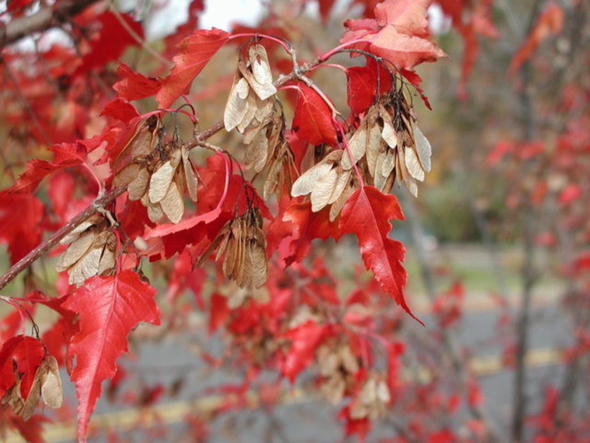 Acer ginnala (Amur maple)