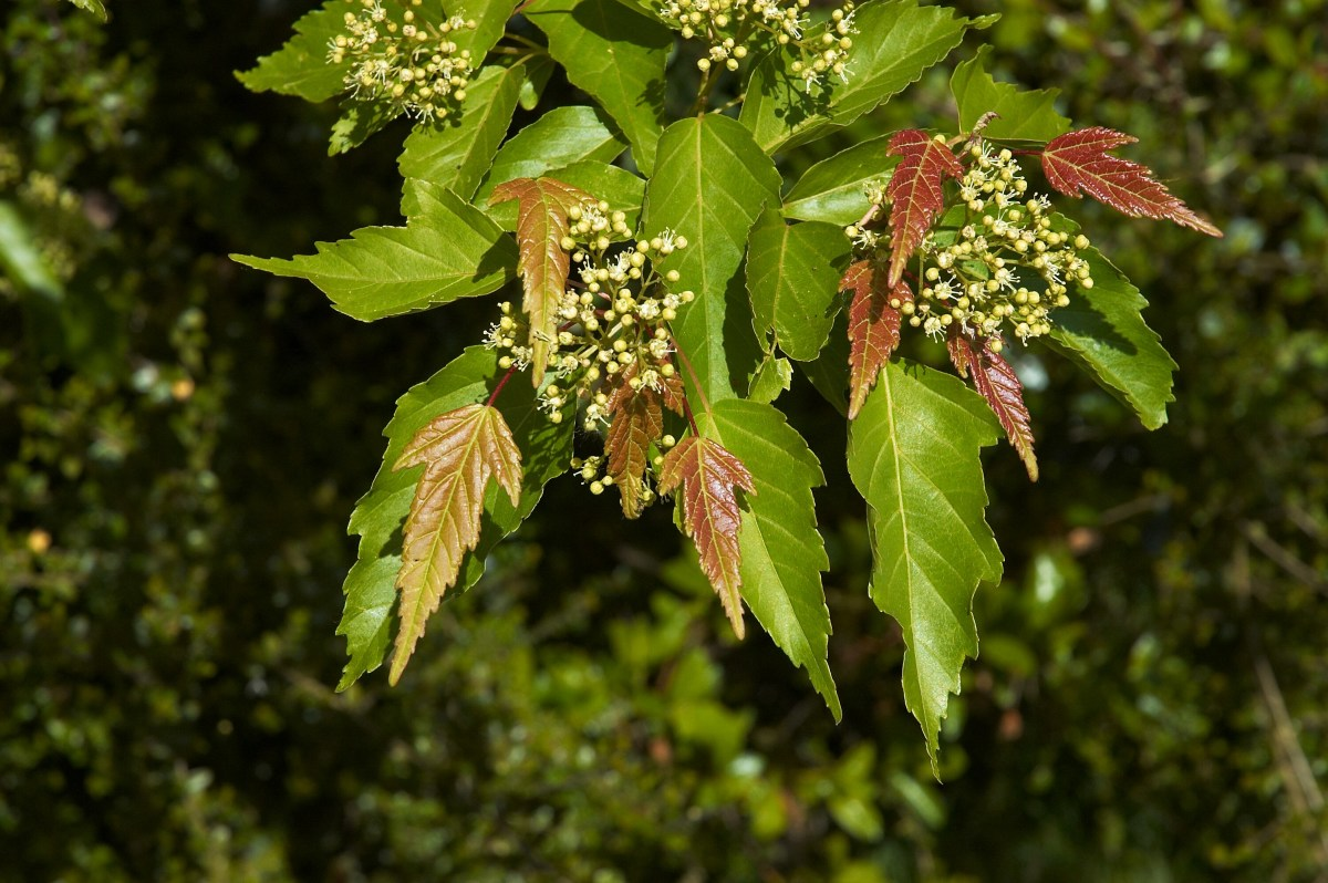 Acer ginnala with flowers