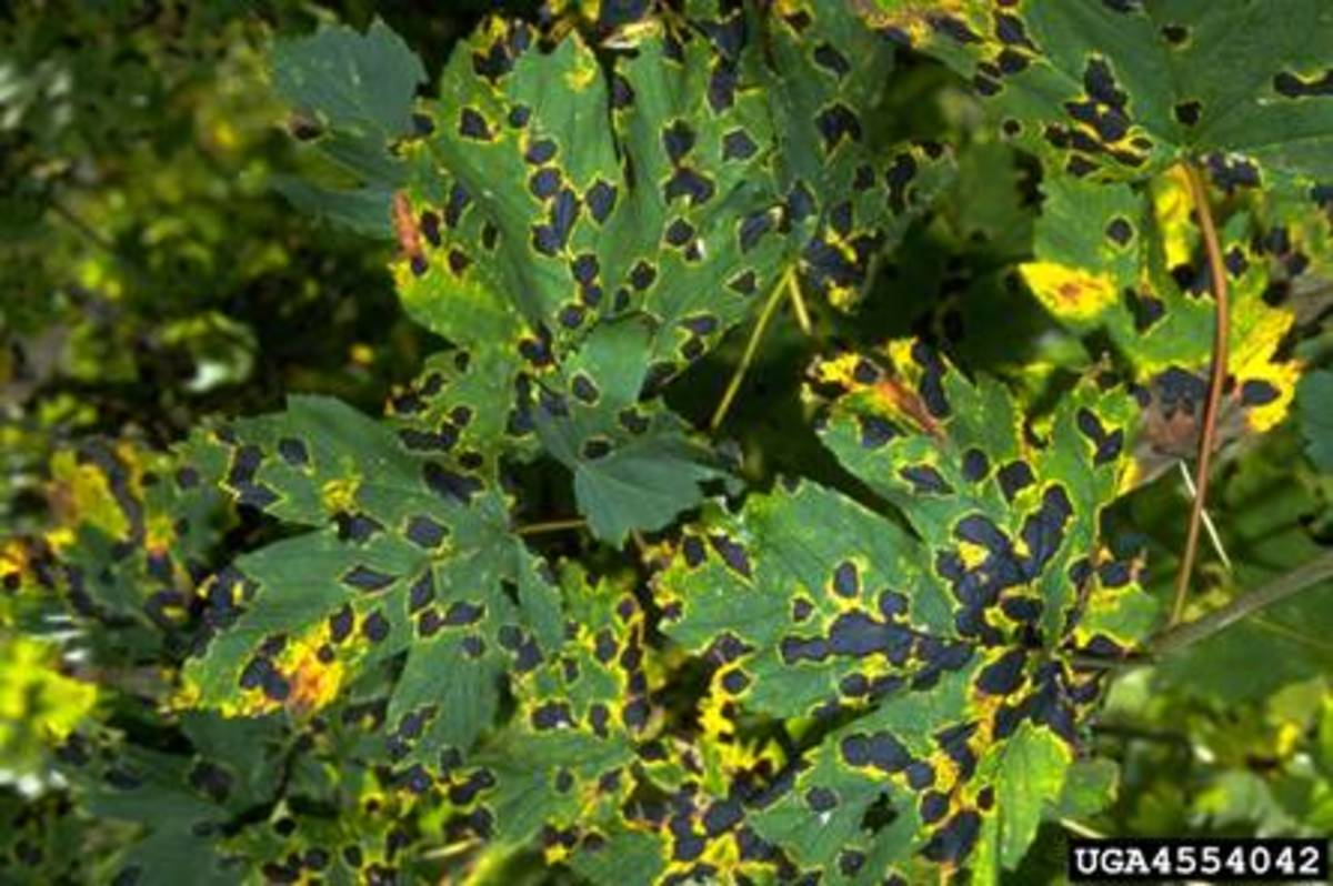 Tar spot on maple leaves