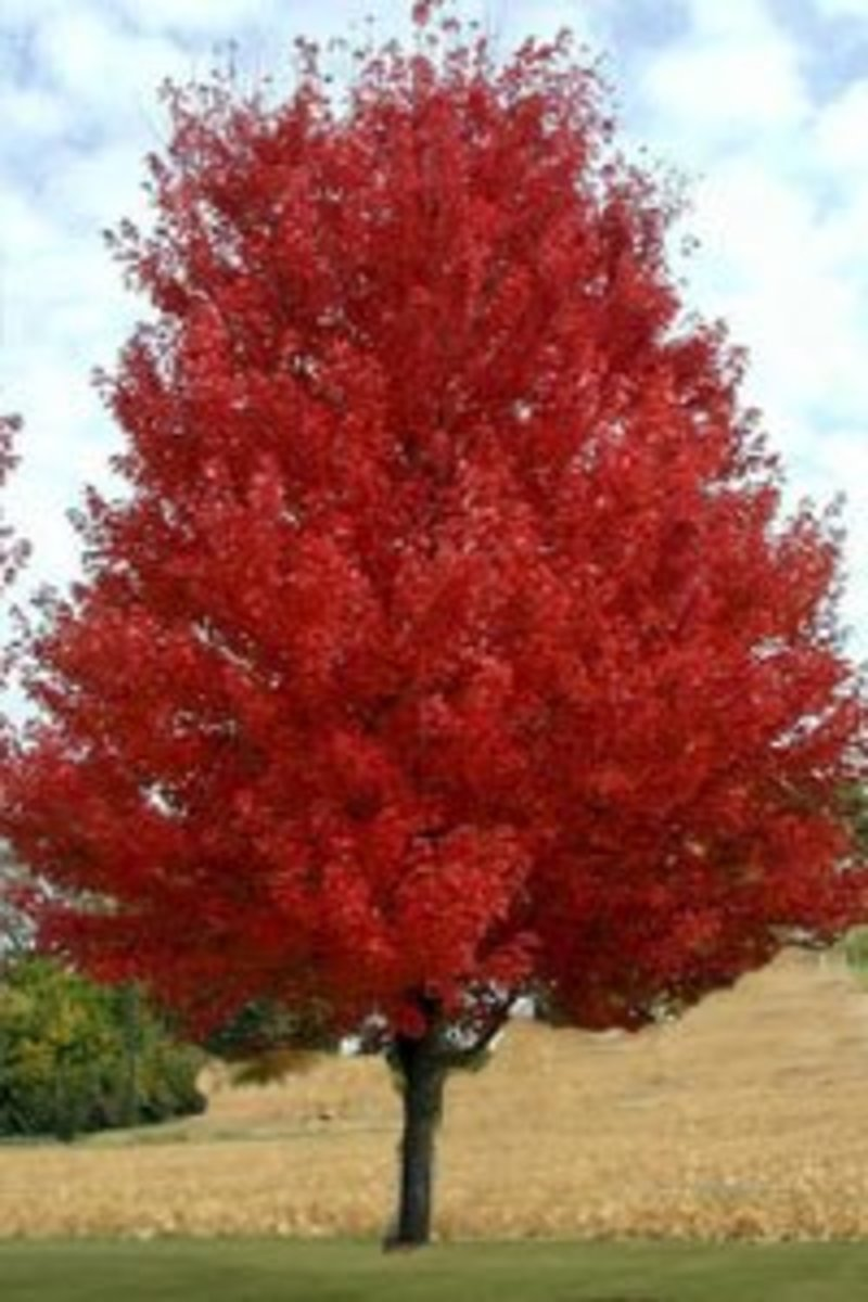 Flame Amur maple
