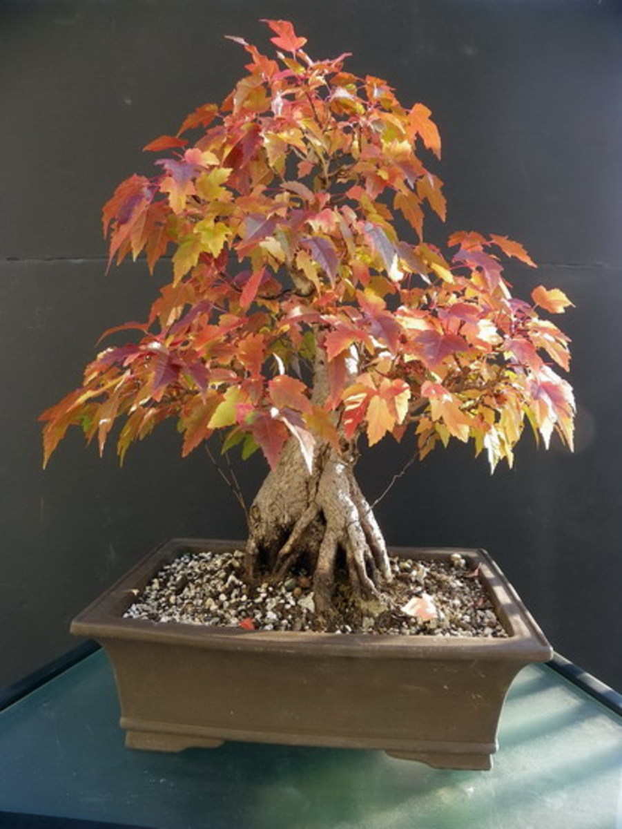 Amur maple as bonsai
