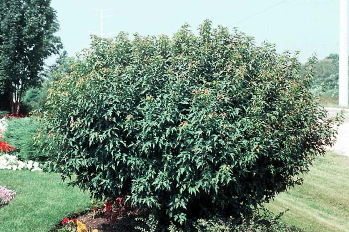 Compact Amur Maple