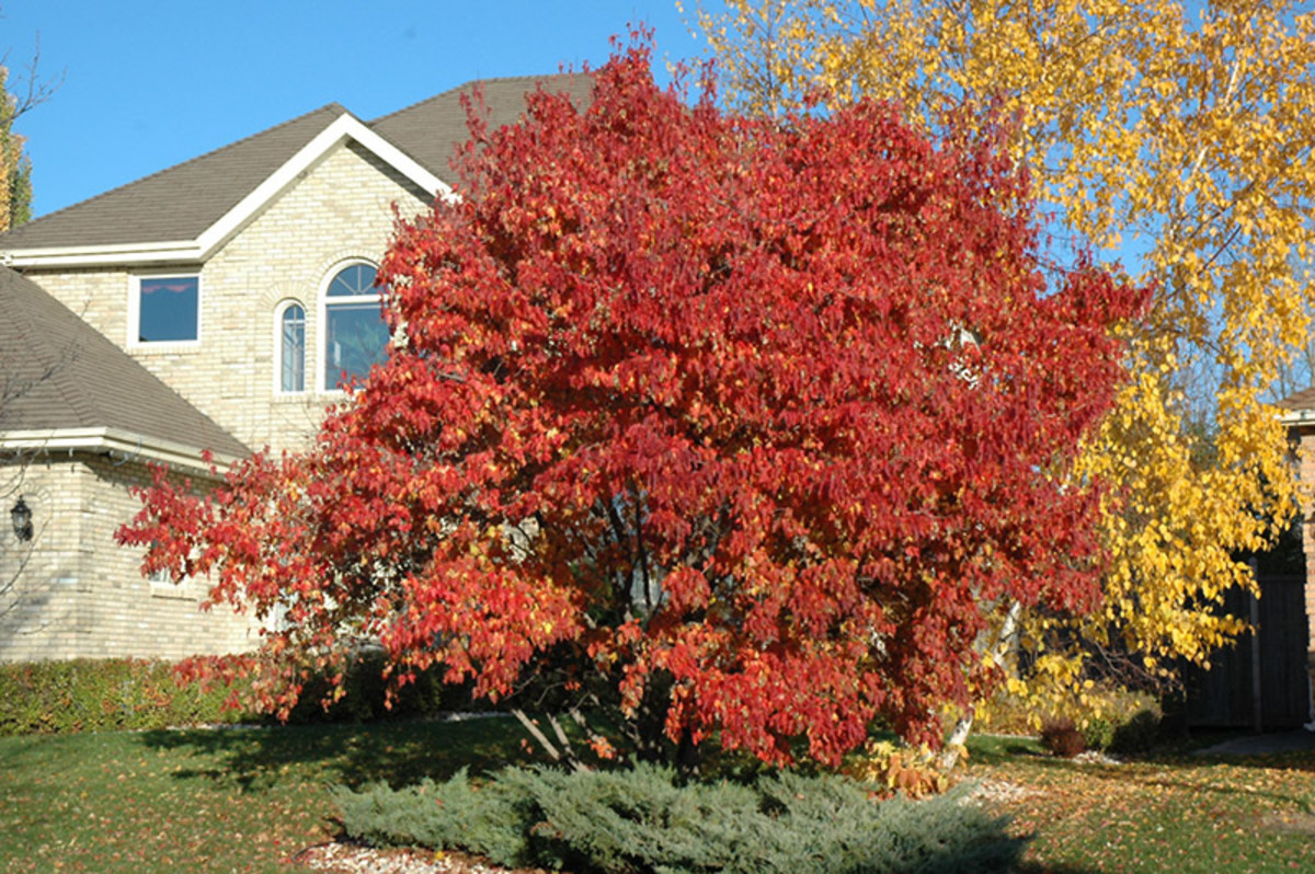 Amur Maple Acer Ginnala Facts Uses Pests And Diseases Dengarden