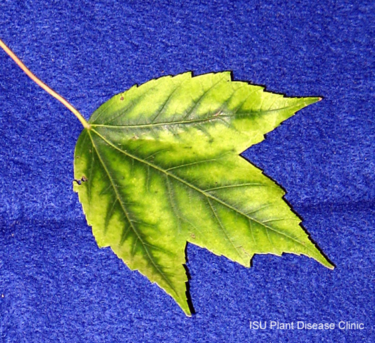 Symptoms of Iron chlorosis