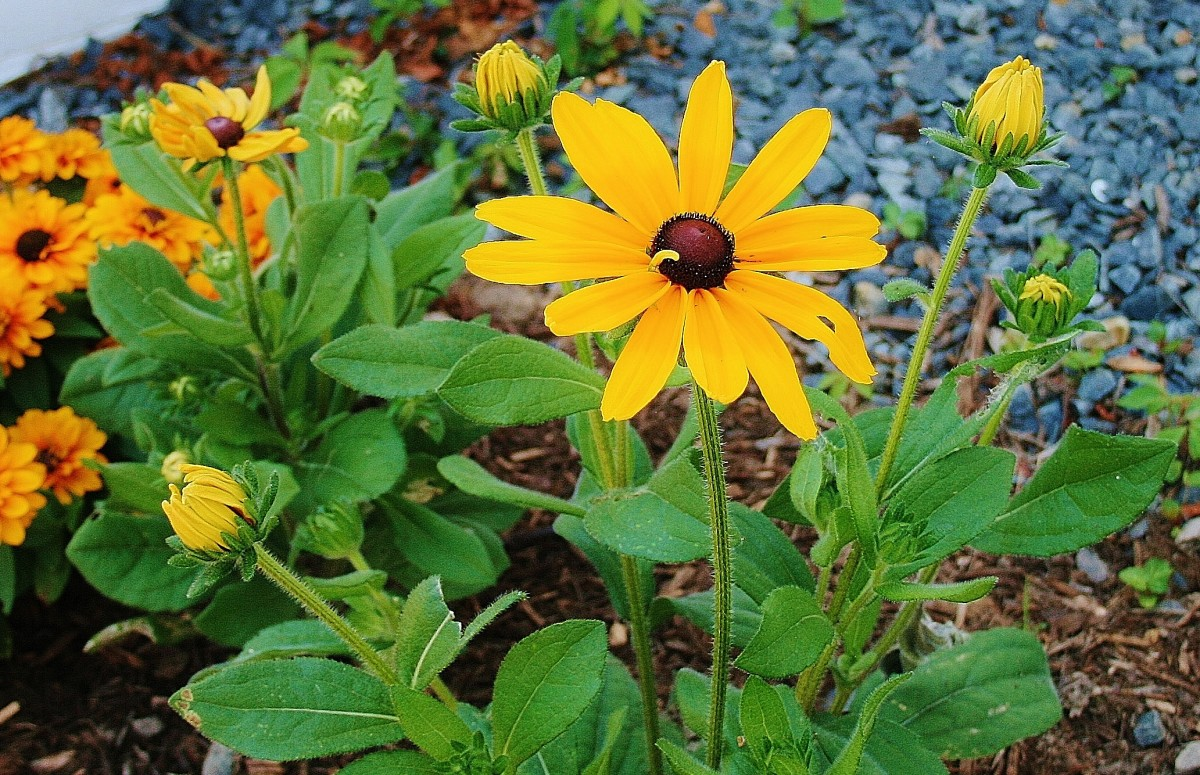 Rudbeckia hirta generally grows in clumps anywhere from one to two feet wide.