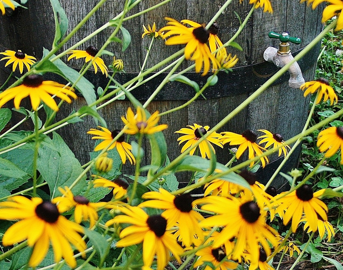 Although thick masses of black-eyed Susan in the shade are pretty at first, the size and location are an invitation to disease. Pictured: our Rudbeckia hirta before being hit by a nasty bout of rust.