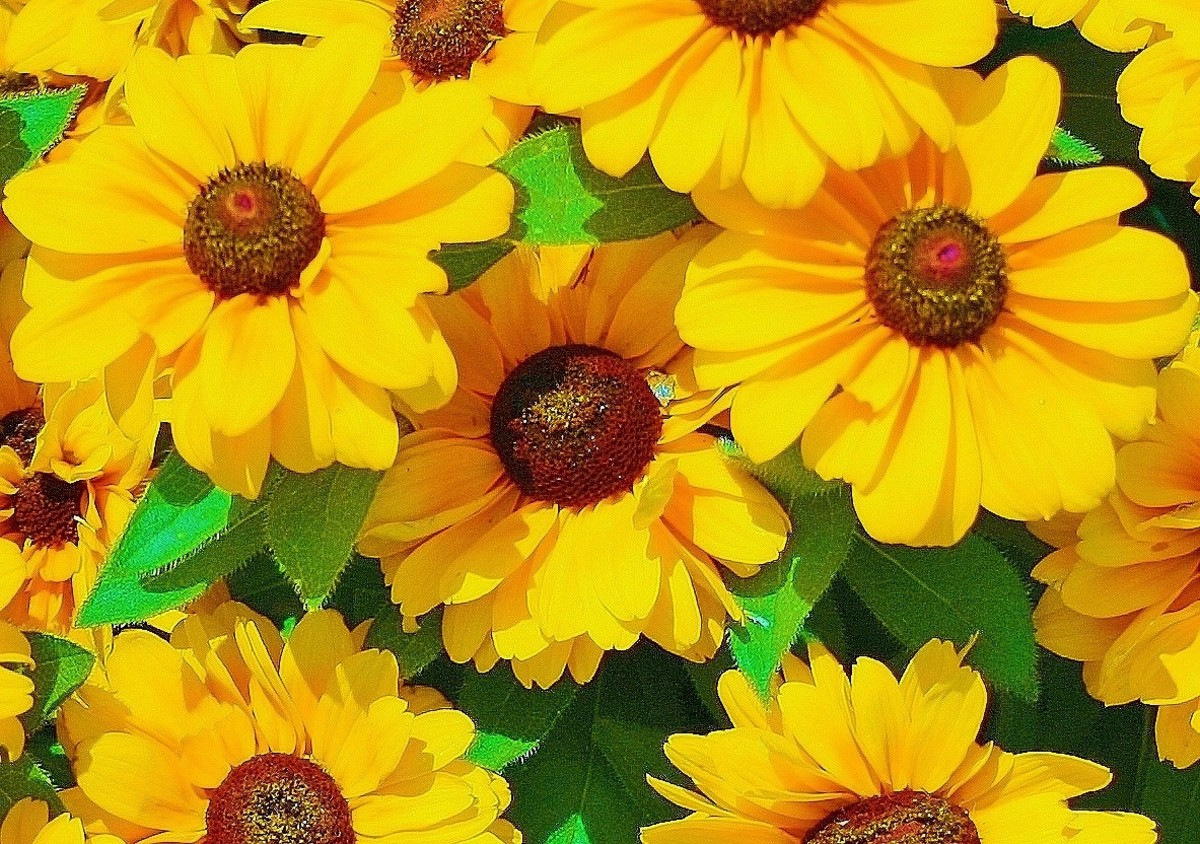 Who doesn't love the cheery faces of Rudbeckia hirta flowers? They're adorable!
