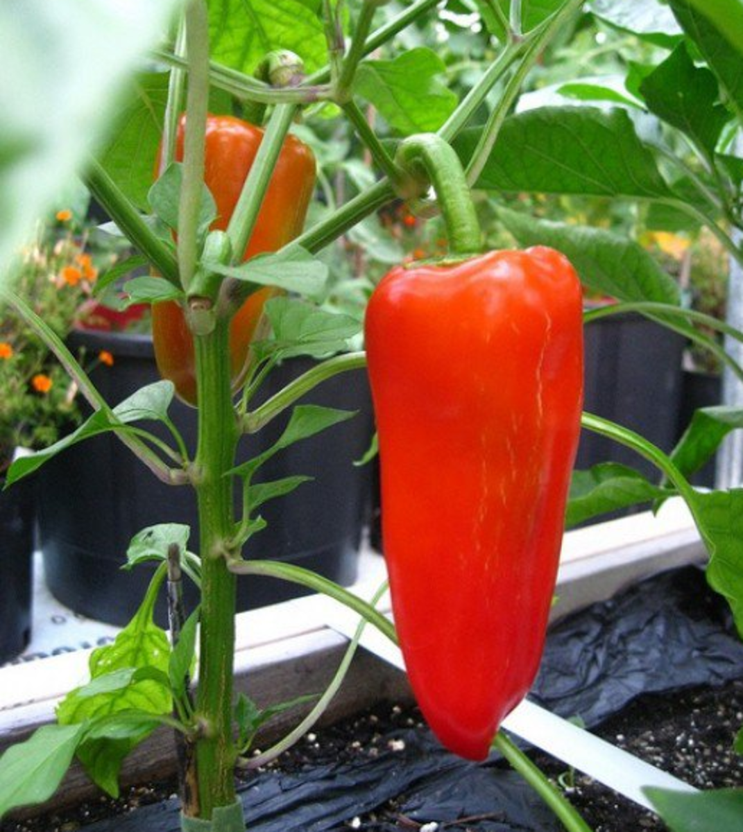 Peppers growing nicely.