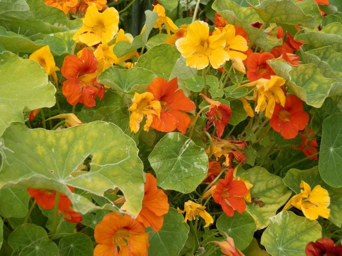 nasturtiums in flower
