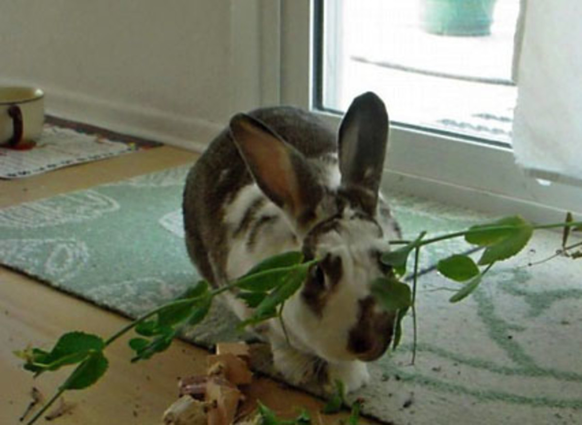 Fresh pea vine from the garden: Thumper wears peas on his head before eating.