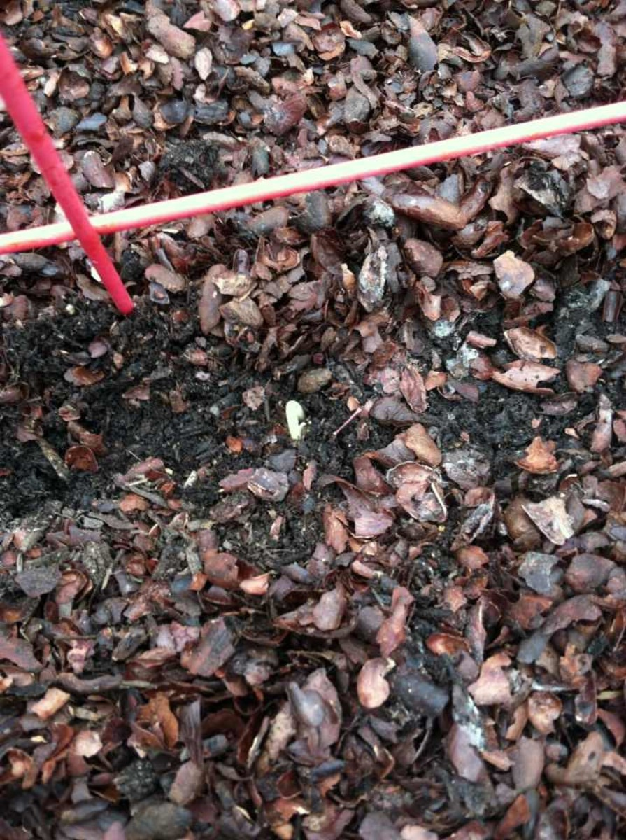 Once seeds germinate and seedlings pop through, you can push more mulch closer to the plant to protect the seedling and keep weeds down.
