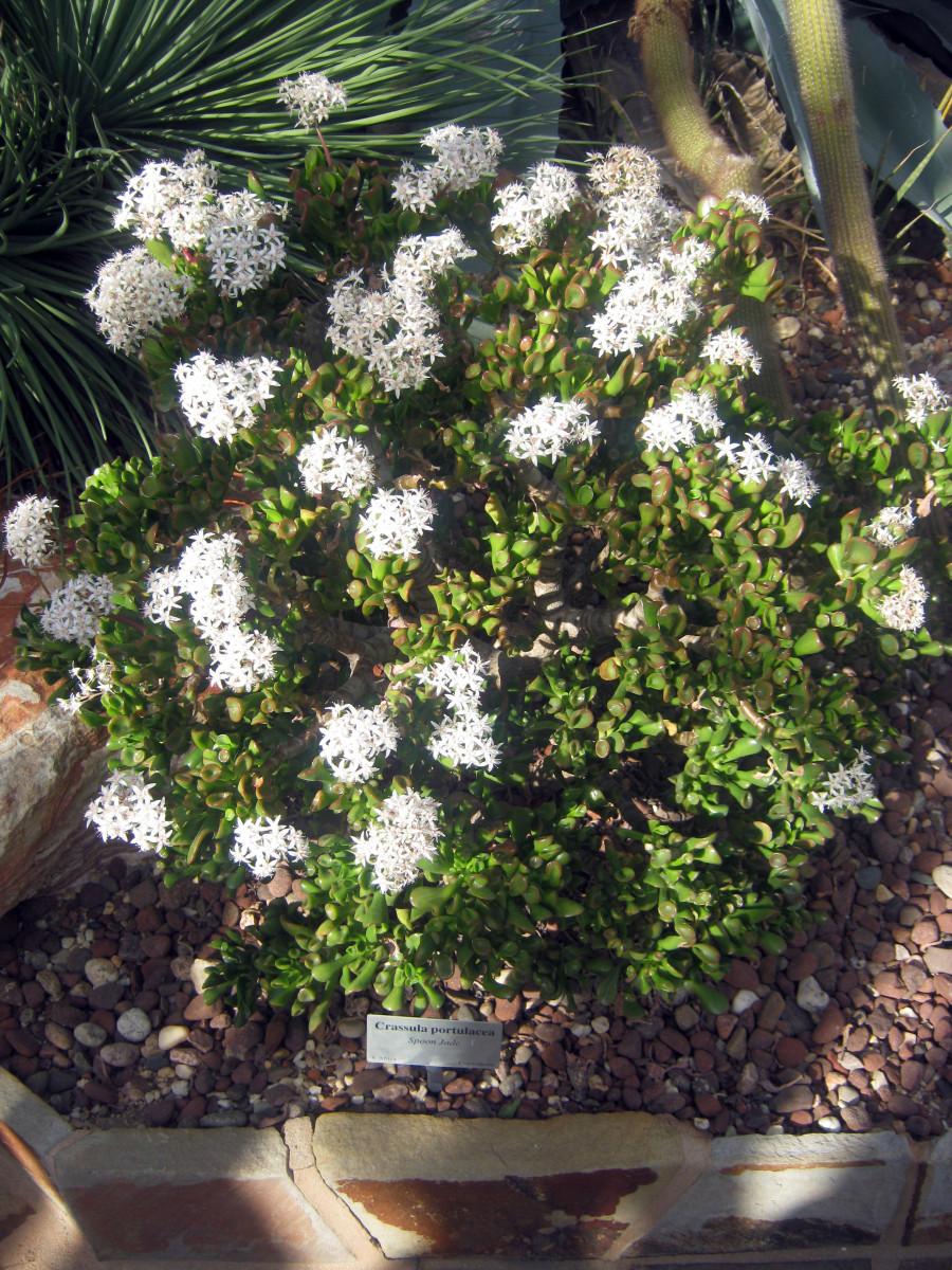 Spoon jade in flower