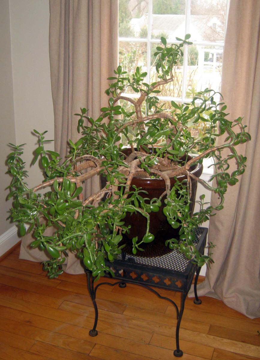 Jade plant - and older specimen