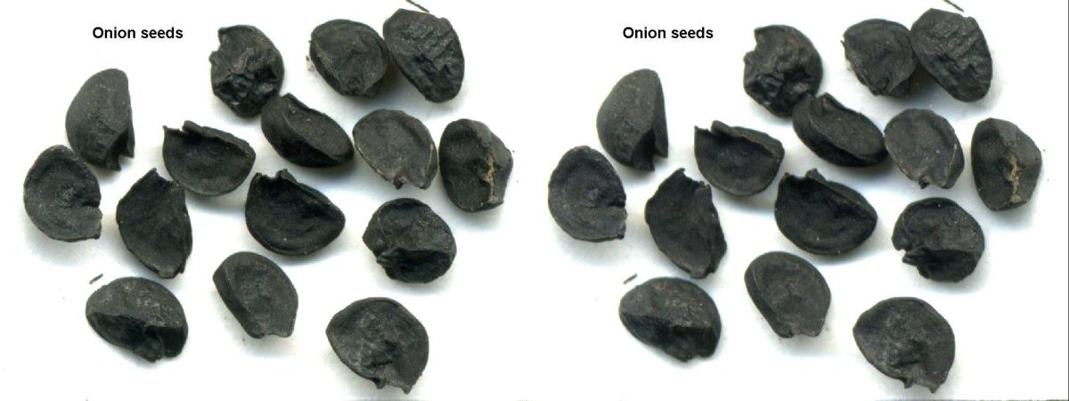 Onion seeds, which are a lot smaller than what they appear here.