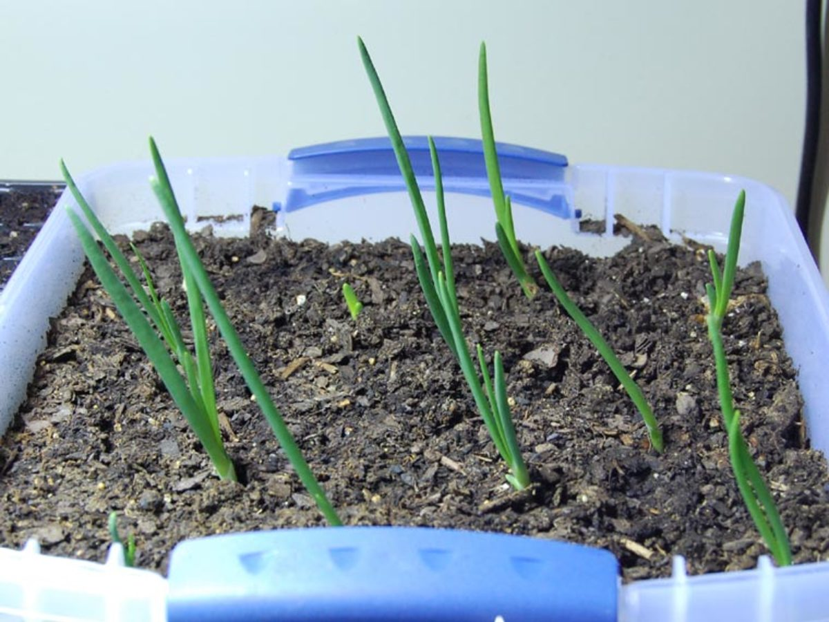 Germinating onions. So exciting!