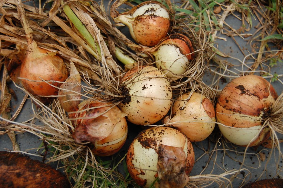 Onion Harvest!
