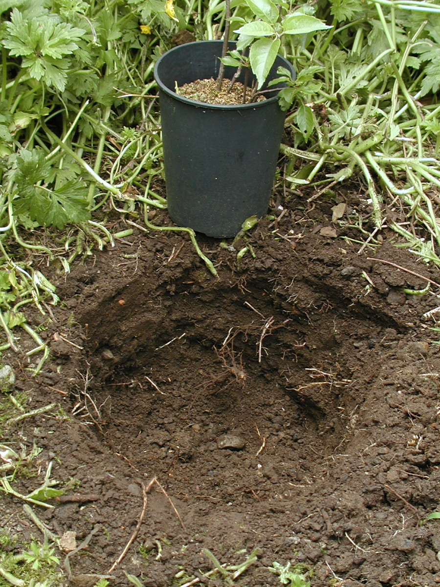 The hole should ideally be about twice the width and depth of the root ball.