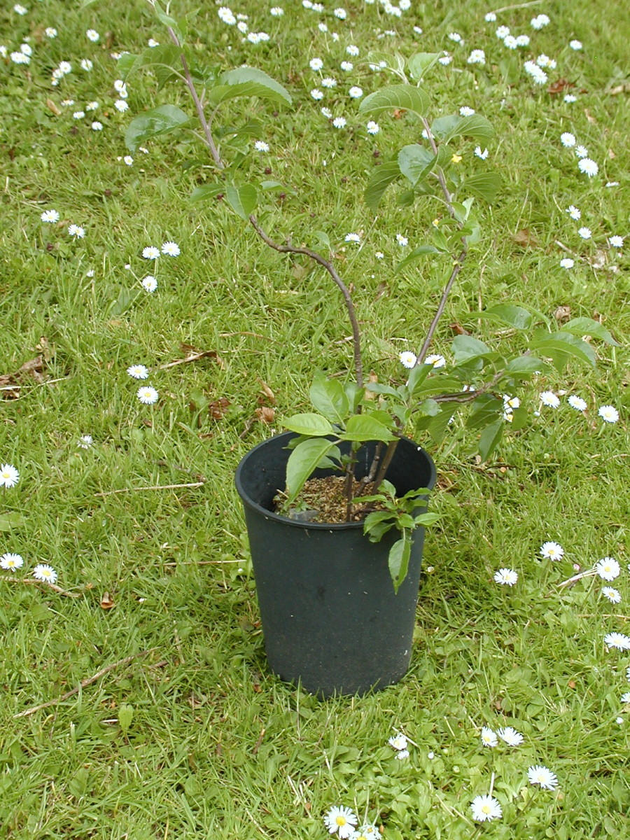 An apple tree gets lucky after having been stuck in a pot for years!