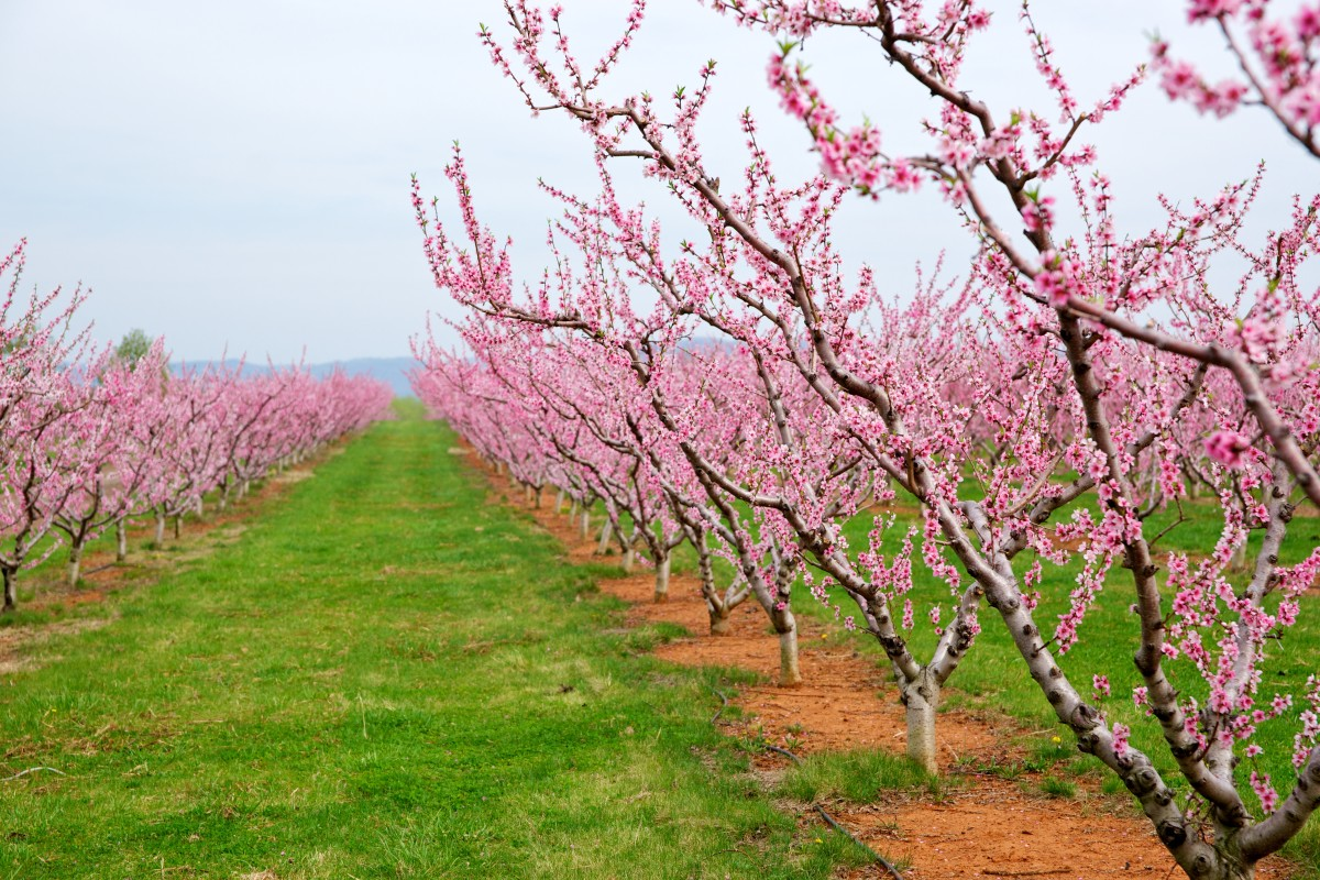 Caring for peach trees is incredibly important while they are young. Without proper care, the tree may not bear fruit on time or may become sickly.