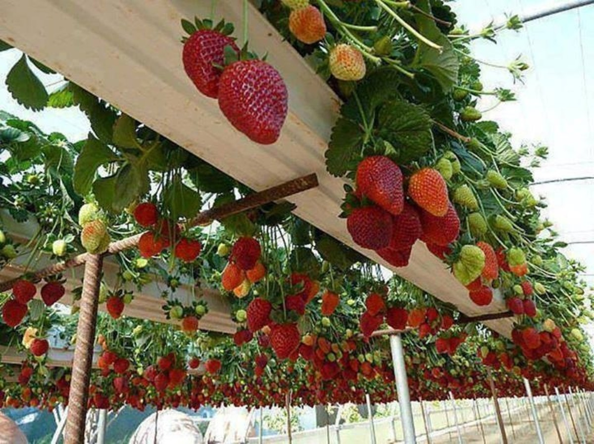 My next project will be planting strawberries in gutter system.