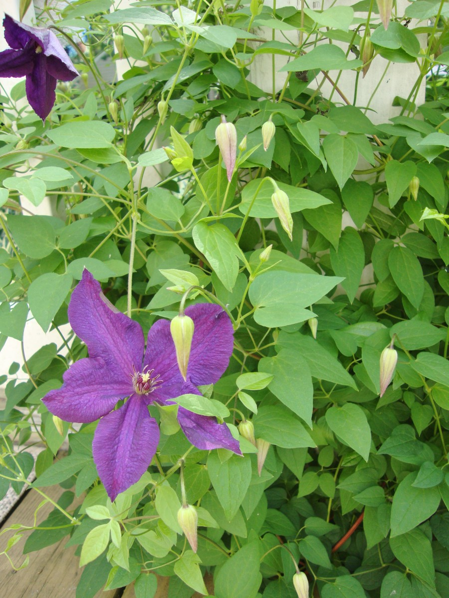 An example of a healthy clematis.