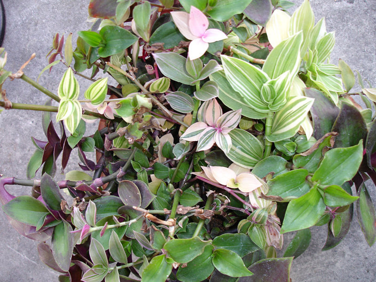 Wandering Jew (Tradescantia) comes in many varieties, and is an excellent vining plant.