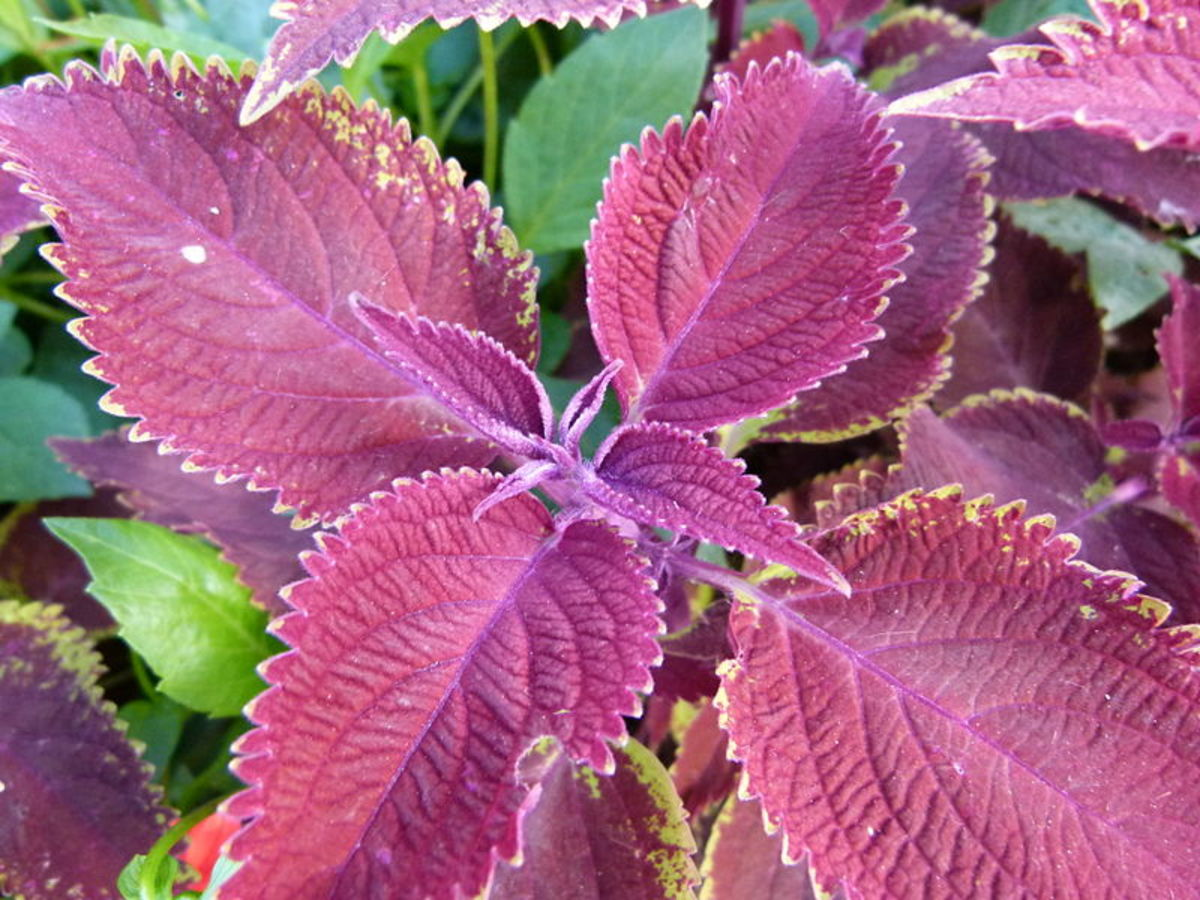 Scarlet Coleus is safe for children, but it's not recommended for pets.