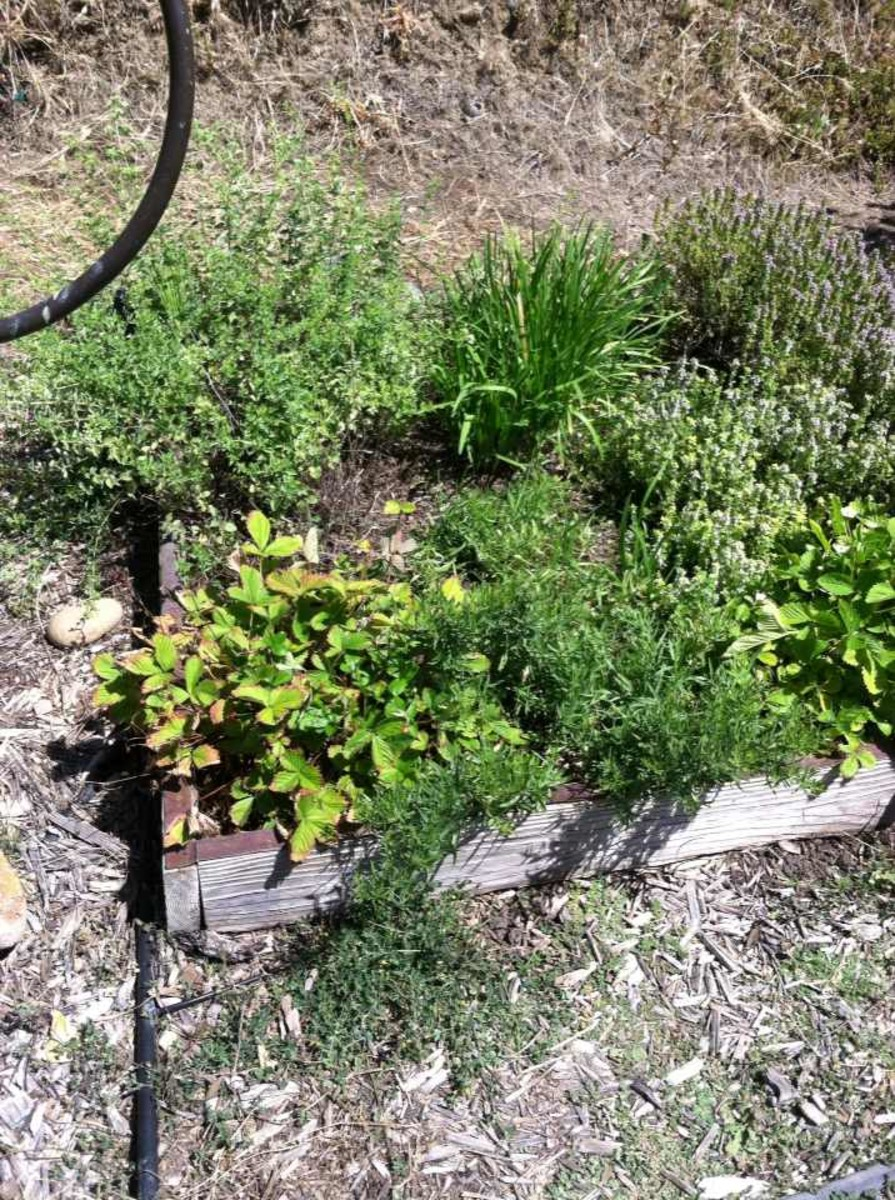 Tarragon, forward, flanked by alpine strawberry plants. The oregano, chives and thyme in the same bed make it challenging to keep tarragon growing.