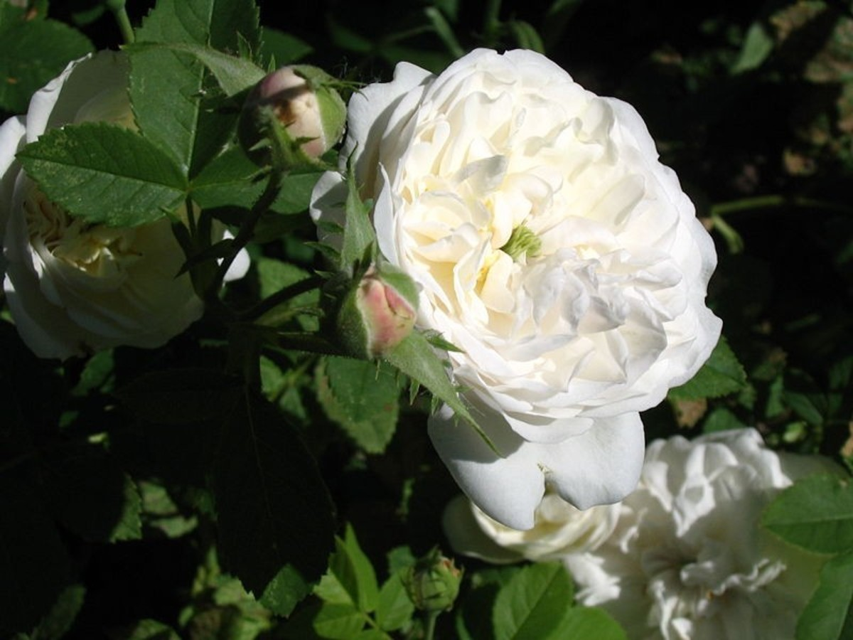 Damask rose, Madame Hardy. My favorite!