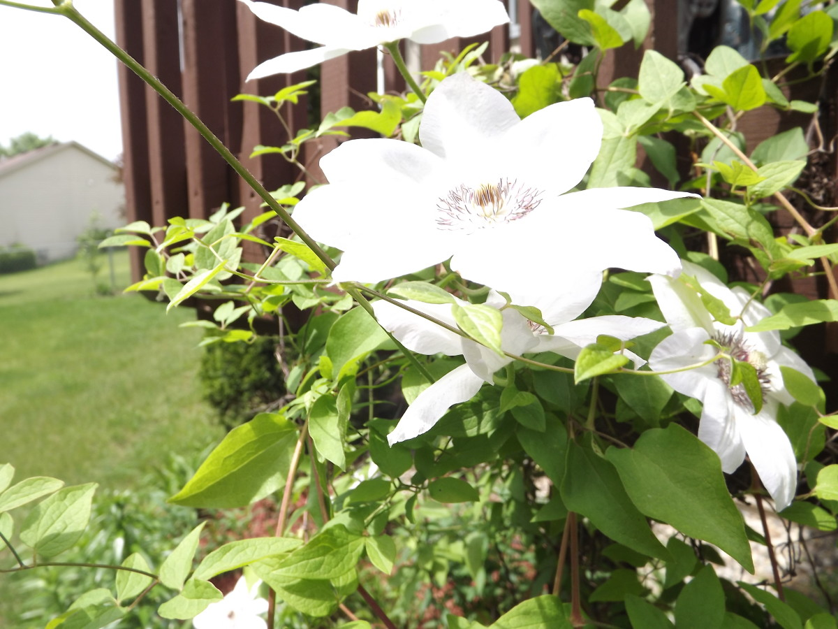 One of the clematis growing up our deck