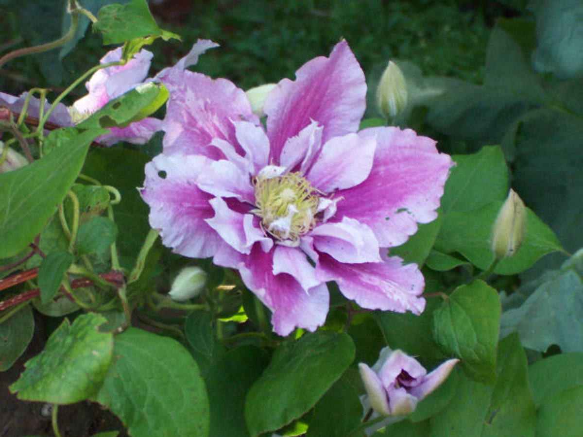 Clematis with double blooms