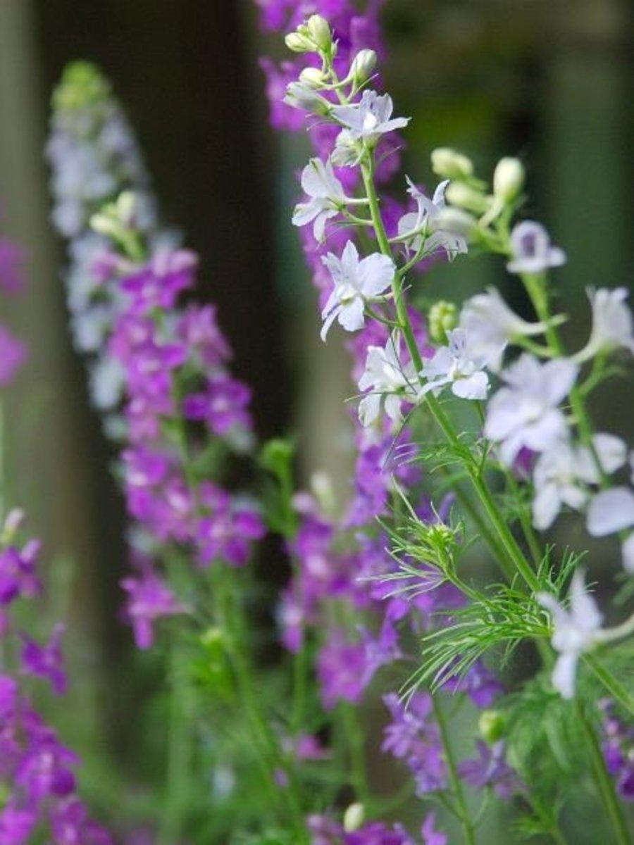 The regal stalks of the Delphinium flower make excellent cut flowers.