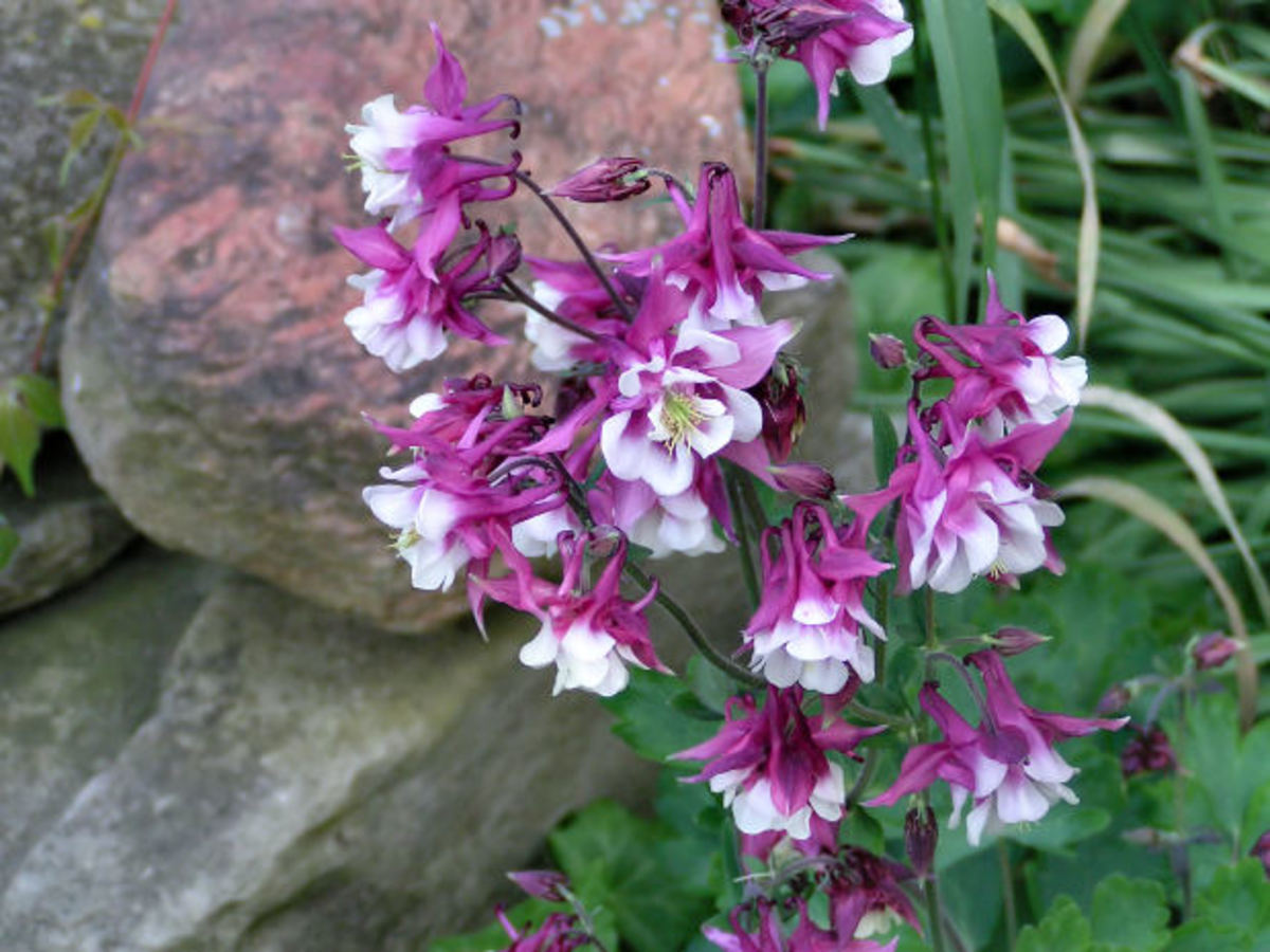The spur shaped flower of the Columbine comes in a variety of colors.