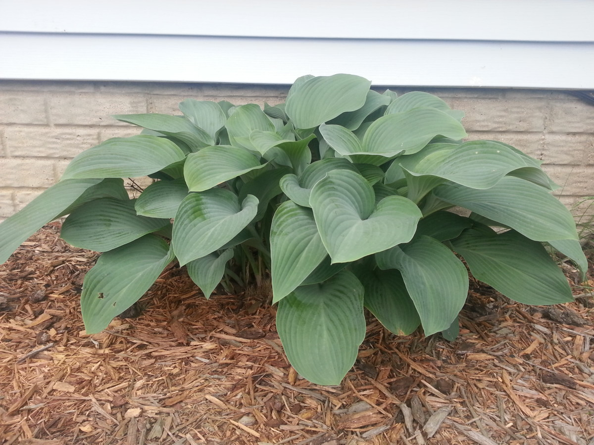 Hosta plants are essential to any garden in the shade.