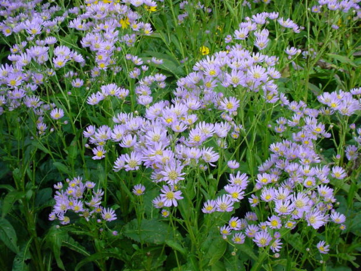 Asters will easily naturalize in the shade garden.
