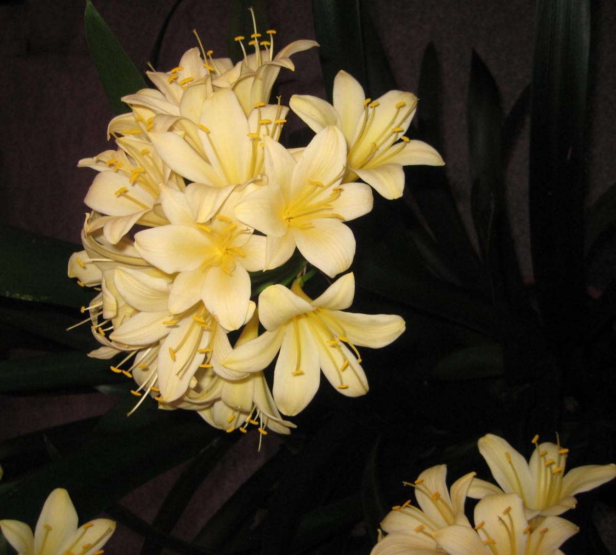 Beautiful clivea with yellow blooms at the Philadelphia Flower Show 2017