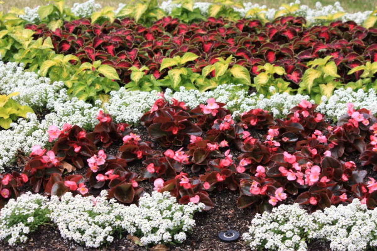 Begonias, Alyssum, and Coleus are beautiful when combined together in a shady garden.